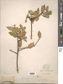 view Quercus wislizeni A. DC. digital asset number 1