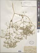 view Gypsophila bicolor (Freyn & Sint.) Grossh. digital asset number 1