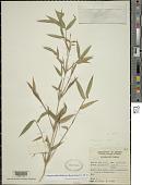 view Fargesia nitida (Mitford ex Stapf) Keng f. ex T.P. Yi digital asset number 1