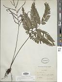 view Adiantum tetraphyllum Humb. & Bonpl. ex Willd. digital asset number 1