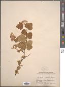 view Opulaster malvaceus (Greene) Kuntze digital asset number 1