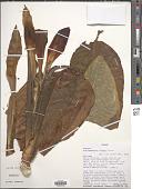 view Dieffenbachia lutheri Croat digital asset number 1