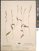 view Oplismenus hirtellus (L.) P. Beauv. digital asset number 1