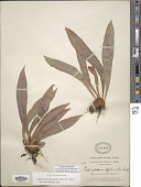view Elaphoglossum apodum (Kaulf.) Schott ex J. Sm. digital asset number 1