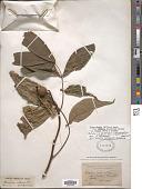 view Carya glabra var. odorata (Marshall) Little digital asset number 1