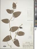 view Eriosema heterophyllum Benth. digital asset number 1