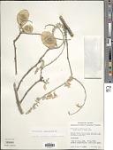 view Pterocarpus orbiculatus DC. digital asset number 1