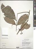 view Schlegelia spruceana Bureau & K. Schum. digital asset number 1