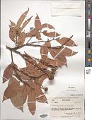 view Lithocarpus celebicus (Miq.) Rehder digital asset number 1