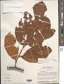 view Lueheopsis ? sp. digital asset number 1