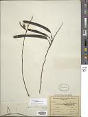 view Bauhinia ungulata var. parvifolia digital asset number 1