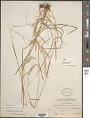 view Cinnagrostis leonardii ined. digital asset number 1