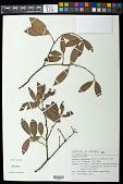 view Salacia elliptica (Mart. ex Schult.) G. Don digital asset number 1