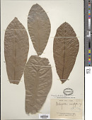 view Dichapetalum heudelotii (Planch. ex Oliv.) Baill. digital asset number 1