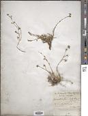 view Tunica fasciculata (Margot & Reut.) Boiss. digital asset number 1