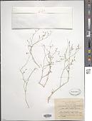 view Polycarpaea robbairea (Kuntze) Greuter & Burdet digital asset number 1