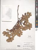 view Quercus durata digital asset number 1