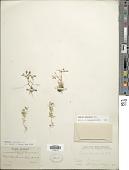 view Tagetes filifolia Lag. digital asset number 1