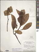 view Odontadenia puncticulosa (Rich.) Pulle digital asset number 1