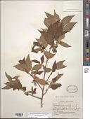 view Muntingia calabura L. digital asset number 1