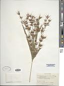 view Rhynchospora corniculata (Lam.) A. Gray digital asset number 1