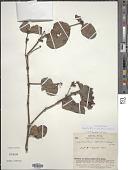 view Oryctanthus alveolatus (Kunth) Kuijt subsp. alveolatus digital asset number 1
