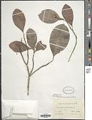 view Psychotria mariana Bartl. ex DC. digital asset number 1