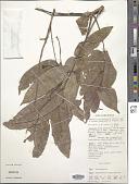 view Dracontomelon mangiferum Blume digital asset number 1