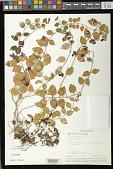 view Aeschynanthus tricolor Hook. digital asset number 1