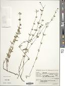 view Borreria eryngioides Cham. & Schltdl. digital asset number 1