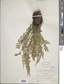 view Asplenium sessilifolium Desv. digital asset number 1