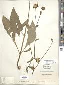 view Silphium radula var. gracile (A. Gray) Clevinger digital asset number 1