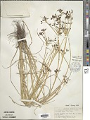 view Rhynchospora nitens (Vahl) A. Gray digital asset number 1