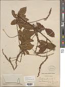 view Paullinia pinnata L. digital asset number 1