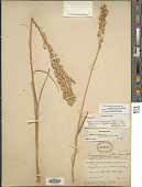 view Toxicoscordion venenosum var. gramineum (Rydb.) Brasher digital asset number 1