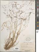 view Agrostis mertensii Trin. digital asset number 1