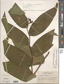 view Maianthemum gigas (Woodson) LaFrankie digital asset number 1