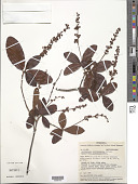 view Byrsonima nitidissima Kunth digital asset number 1