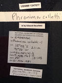 view Phronima colletti digital asset number 1