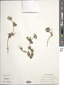 view Synedrella nodiflora (L.) Gaertn. digital asset number 1