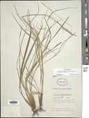 view Carex hamata Sw. digital asset number 1