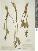 view Menyanthes trifoliata L. digital asset number 1