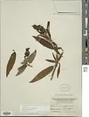 view Salvia corrugata Vahl digital asset number 1