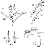 view Heliconia litana W.J. Kress digital asset number 1