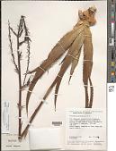 view Pitcairnia pruinosa Kunth digital asset number 1