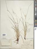 view Carex rossii Boott digital asset number 1