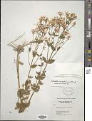 view Sabatia angularis (L.) Pursh digital asset number 1