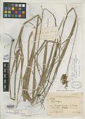 view Rhynchospora polyphylla var. longispiculosa Kük. digital asset number 1