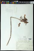 view Kalanchoe tubiflora (Harv.) Raym.-Hamet digital asset number 1
