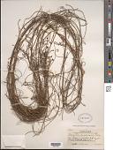 view Cassytha filiformis L. digital asset number 1